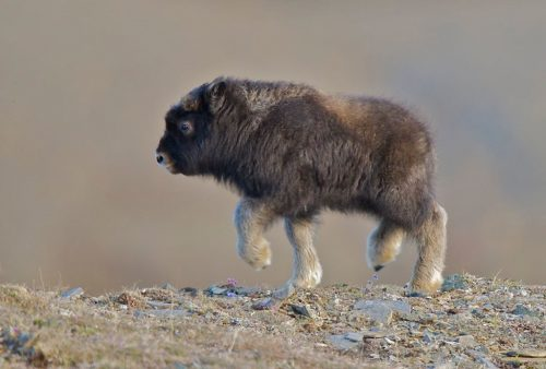Cv9nPviSca1hOGUhn8pEforSX ex tghdIomYJQXEBw 500x338 I see your baby camel and raise you a baby musk ox