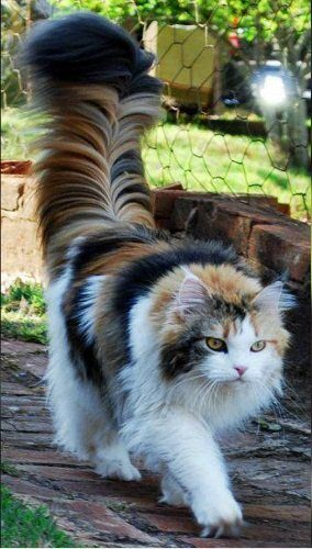 T hIT5jhpKXHNYAbWZugxE1b0ho5S4VrDQpOHlemHyk 284x500 Maine Coon cat with an extraordinary tail.