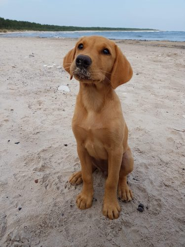 WYFsveitE4tN1Uz 8fJUaq63H731e1Chjsd7Ox  Y2w 375x500 This is my yellow lab Malala at the beach. She is a cute rascal