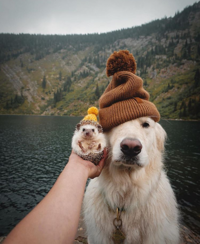 99b0h7bzpen11 409x500 This hedgehog and golden retriever wearing beanies