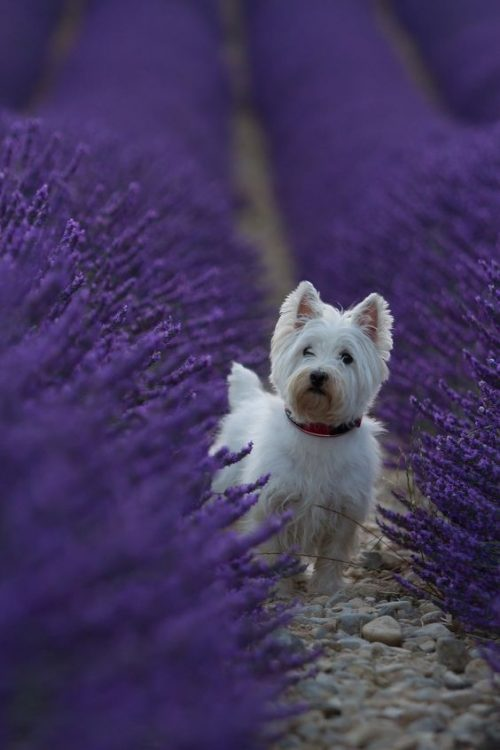 White Dog in Purple Flowers 500x750 White Dog in Purple Flowers