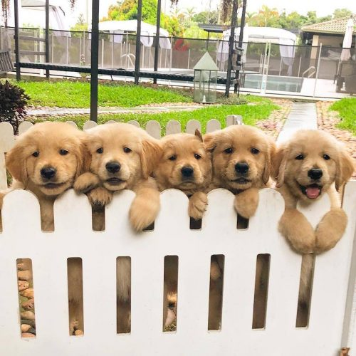 mrzsv50g6nl11 500x500 Golden puppers are happy to see their human back!