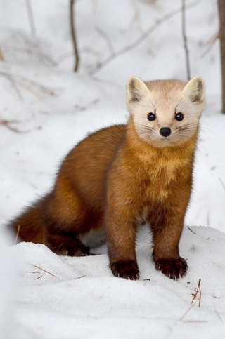 2zuAd 8sj8RDKS1PNlhuhi5XP3PmMIFSgD7hxUO bbw If you've never seen a Pine Marten, you're welcome
