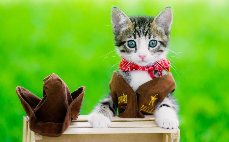 cowgirl cat 750x467 cowgirl cat