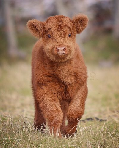 h2vxbxun1u521 400x500 This Scottish Highland Cattle calf is too cute.