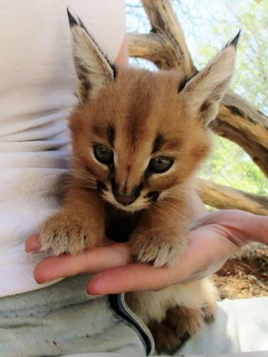 dajh0ifvtk921 376x500 Caracals are the cutest