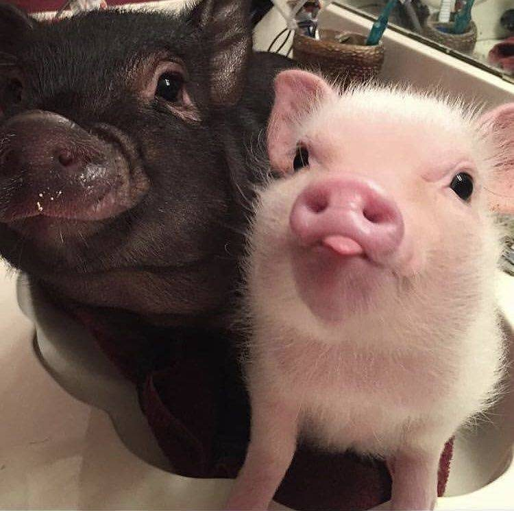 two cute piggies 750x745 two cute piggies