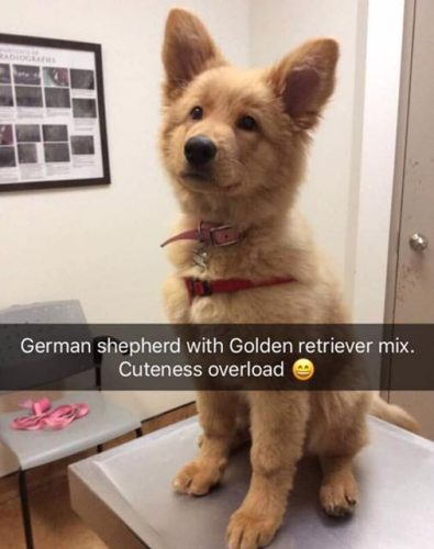 ww0an37agv721 395x500 Golden Shepherd pupper!