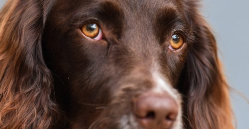 facebook 500x260 Dogs' Eyes Have Changed Since Humans Befriended Them