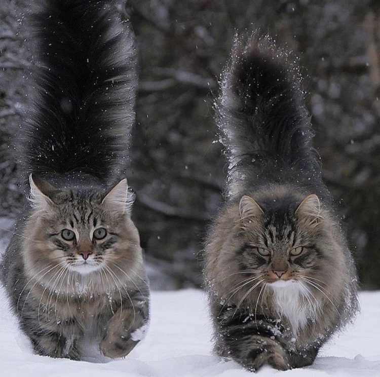 fluffy tails 750x744 fluffy tails