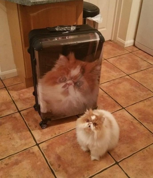 luggage cat luggage cat
