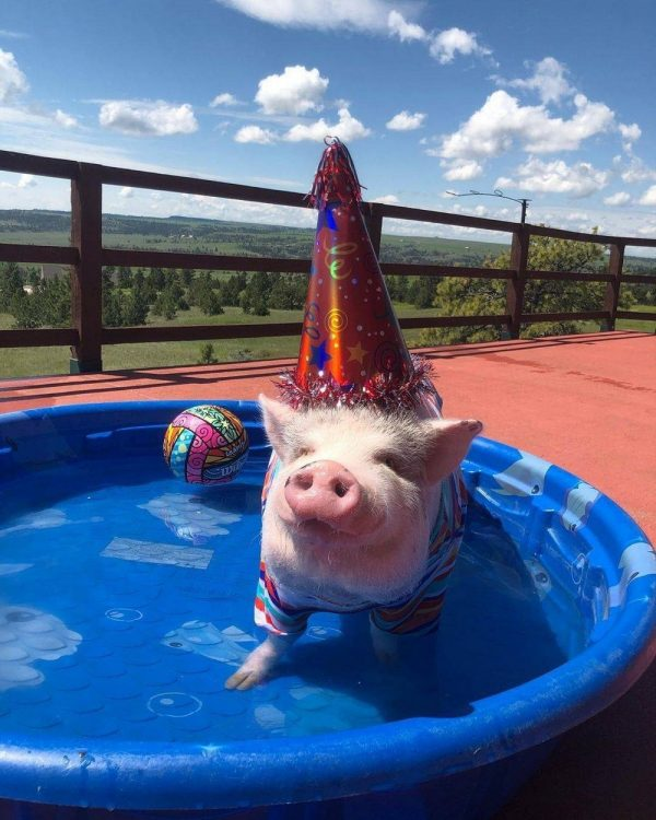 party pool pig 600x750 party pool pig