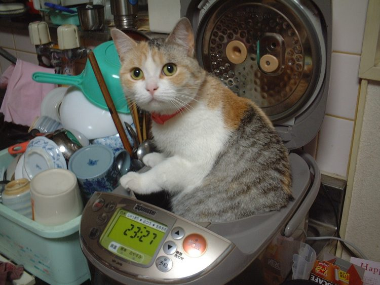 rice cooking cat 750x563 rice cooking cat