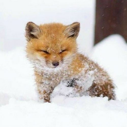 gfngf975gi931 500x500 Little baby fox in the snow