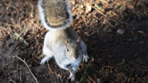 greysquirrel wide c2b71682ec30ddda44bad5a9b4a1d62e7ba9ad22 500x281 The Other Twitterverse: Squirrels Eavesdrop On Birds, Researchers Say