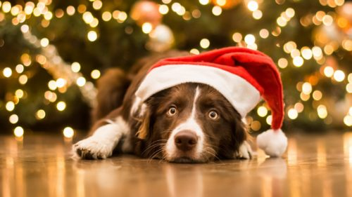 1056649 500x281 christmas dog in a hat