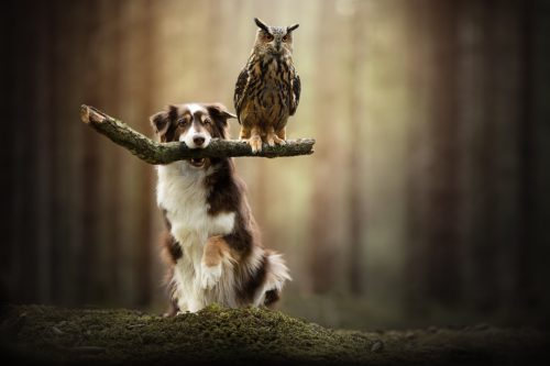1067157 500x333 a dog and his owl