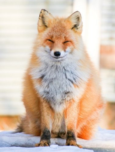 47 377x500 pleased fox
