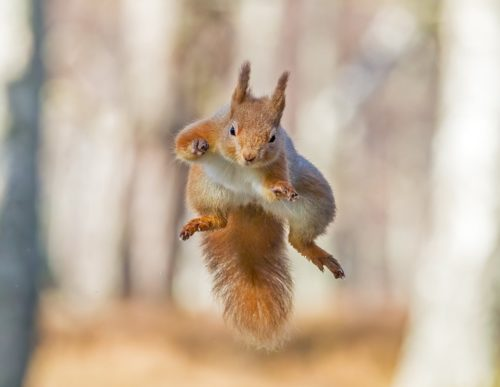 1068270 500x387 Leaping Squirrel