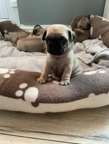 lh5abijh2y171 1 381x500 We went to meet my sister's pug puppy today He is so utterly adorable
